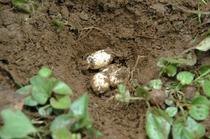 noko_egg2.jpg